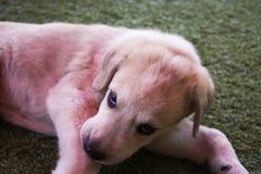 Labrador van twee maand in de werf Stock Foto