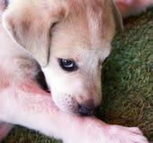 Labrador van twee maand in de werf Stock Afbeeldingen