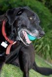 Labrador velho Foto de Stock Royalty Free