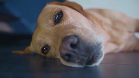 Labrador vermelho é encontro triste no assoalho que espera seu proprietário filme