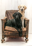 Labrador on vintage chair Royalty Free Stock Photography