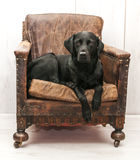 Labrador on vintage chair Stock Photography