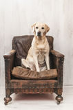 Labrador on vintage chair Royalty Free Stock Image