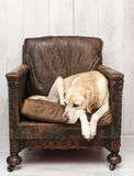 Labrador on vintage chair Stock Image