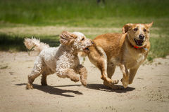 Labrador vs. Labradoodle Stock Photo