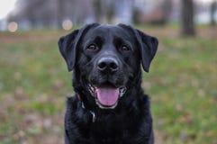 Labrador w parkowym mieć zabawę obraz royalty free