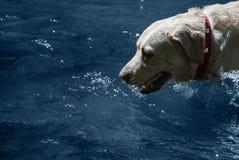 Labrador w wodzie obrazy royalty free
