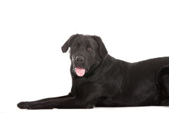 Labrador is waiting. Happy dog photographed in the studio on a white background royalty free stock photography