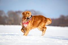 Labrador walking outdoors Royalty Free Stock Image