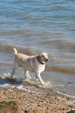 Labrador walking in sea Royalty Free Stock Photo