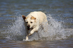 Labrador in Water royalty free stock photo