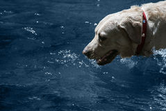 Labrador in the water. White labrador retriever, exploring the water in a mountain river in Mendoza, Argentina Royalty Free Stock Images