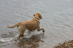 Labrador in Water. A golden labrador running in the water Stock Images