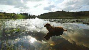 Labrador in Water stock videobeelden