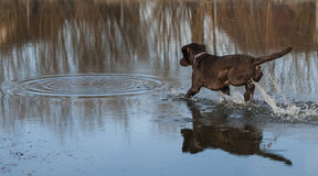Labrador in water Royalty Free Stock Images