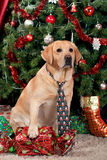 Labrador. Wearing a tie sitting at the Christmas tree Royalty Free Stock Photo