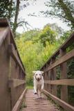 Labrador, welches die Brücke kreuzt Lizenzfreies Stockbild