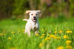Running labrador puppy in a spring meadow. Running labrador retriever puppy in a spring meadow und have fun stock photos