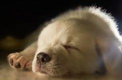 Labrador-Welpe Lizenzfreie Stockfotos
