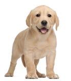 Labrador-Welpe, 7 Wochen alt Stockfotografie