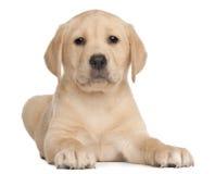 Labrador-Welpe, 7 Wochen alt, vor Weiß Stockfotografie