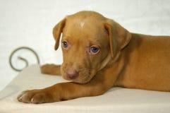Labrador-Welpe auf Thron Stockfoto