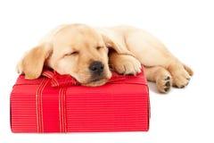Labrador-Welpe, der auf einem Geschenk schläft Stockbild