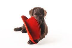 Labrador-Welpe, der auf einem roten Hut auf einem weißen Hintergrund kaut Lizenzfreies Stockfoto