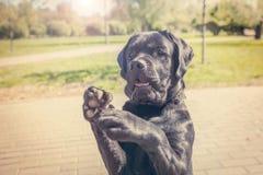 Labrador-Welpe, der einen Trick macht stockfotografie