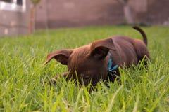Labrador-Welpe, der im Gras spielt stockbilder