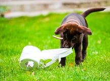 Labrador-Welpe im Gras mit Seidenpapierrolle stockbilder