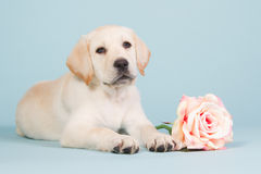Labrador-Welpe mit einem rosa stieg Stockbild