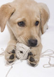 Labrador-Welpe mit Seil Lizenzfreies Stockfoto