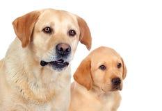 Labrador-Welpe mit seiner Mutter Stockfoto