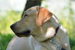 Yellow Labrador Retriever Dog Royalty Free Stock Images