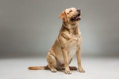 Labrador wint op grijze achtergrond terug Stock Foto