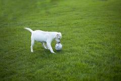 Labrador wint terug royalty-vrije stock foto's