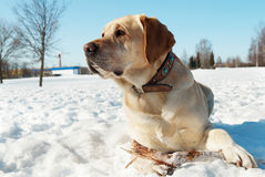 Labrador at winter Stock Image