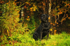 Labrador in the woods Stock Photos