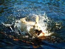 Labrador wordt geschud in het water Stock Fotografie