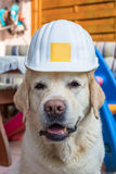 Labrador worker Stock Images