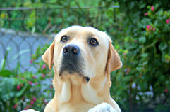 Labrador worried in garden Stock Photos