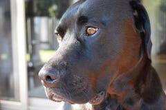Labrador X Fotografia Stock Libera da Diritti