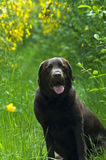 Labrador in Yellow Flower Field. Chocolate lab sitting in grass surrounded by yellow flowers Royalty Free Stock Image