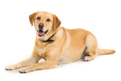 Labrador. Yellow Labrador laying down on a white background facing the camera Stock Image
