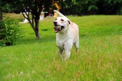 Labrador z jej piłką Obrazy Stock