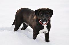 Labradora aporter Zdjęcia Stock