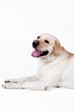 Labradora aporter Zdjęcie Stock