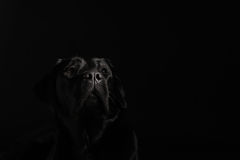 labradora czarny aporter Zdjęcie Stock