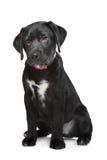 labradora czarny szczeniak Zdjęcie Royalty Free